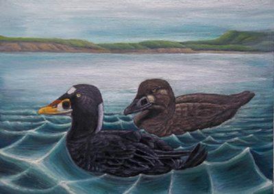 "Entry #17, ""Surf Scoter Off Island"" by John Mackintosh."